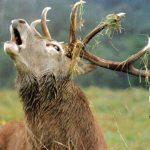 bramito_cervo